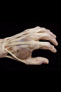 Click image for larger version  Name:Human%20hand.jpg Views:206 Size:49.6 KB ID:19223