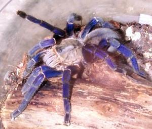 Click image for larger version  Name:The Cobalt Blue Tarantula.jpg Views:99 Size:29.0 KB ID:36746