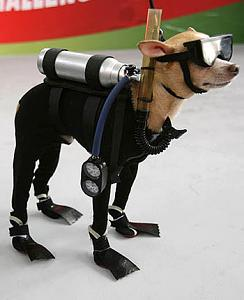 Click image for larger version  Name:scuba-diving-chihuahua-01.jpg Views:159 Size:37.0 KB ID:37529