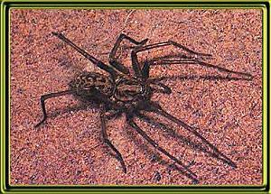 Click image for larger version  Name:sp-tegenaria-gigantea.jpg Views:235 Size:31.3 KB ID:5152